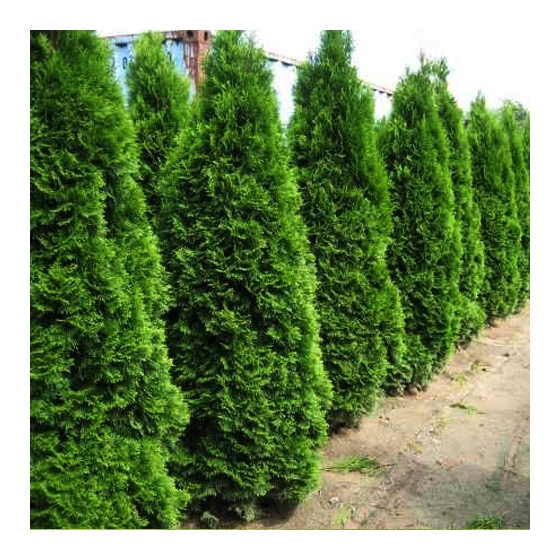 Tuia verde (Thuja occidentalis