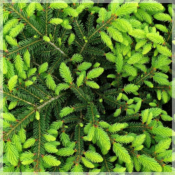 """Molid pitic compact (Picea abies """"Nidiformis"""")"""