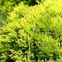 "Tuia pitic auriu (Thuja occidentalis ""Mirjam"")"