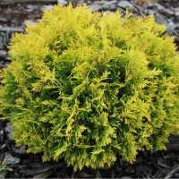 Tuia pitic globular galben intens (Thuja occidentalis 'Amber Glow')