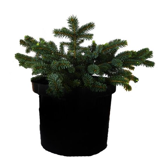 Molid pitic compact - Picea pungens 'Sonia'